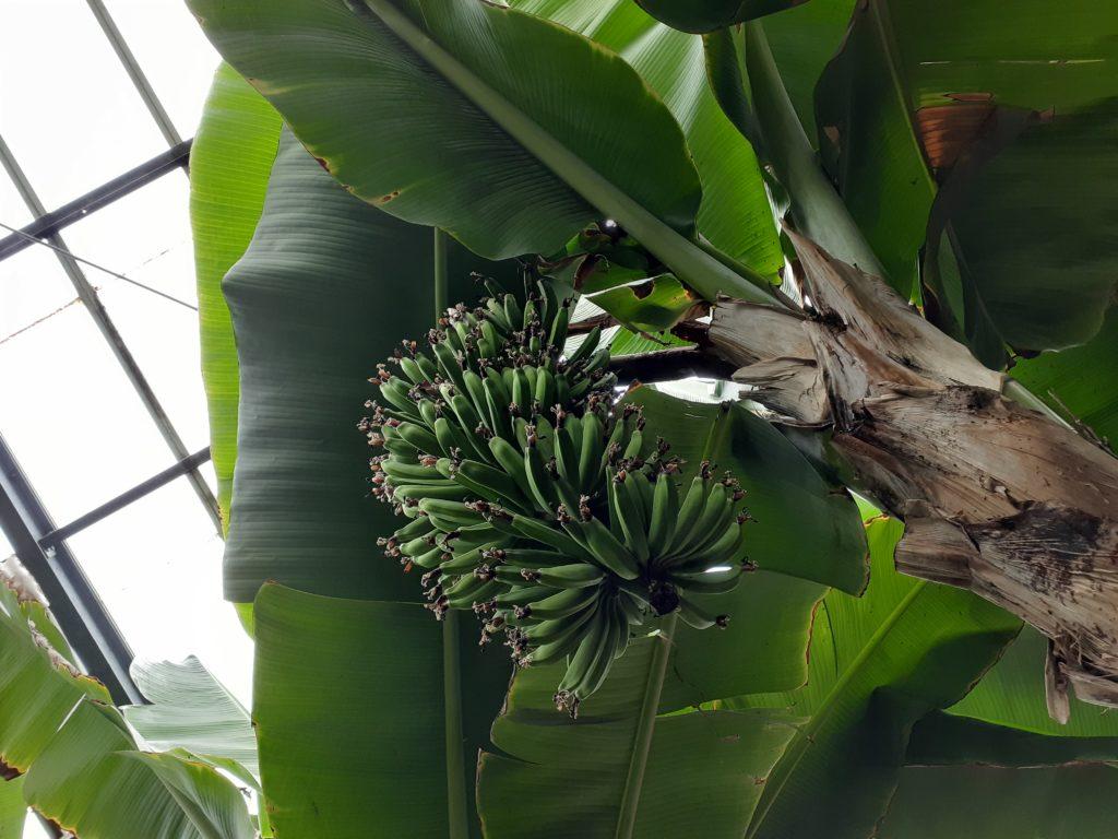 バナナワニ園のバナナ