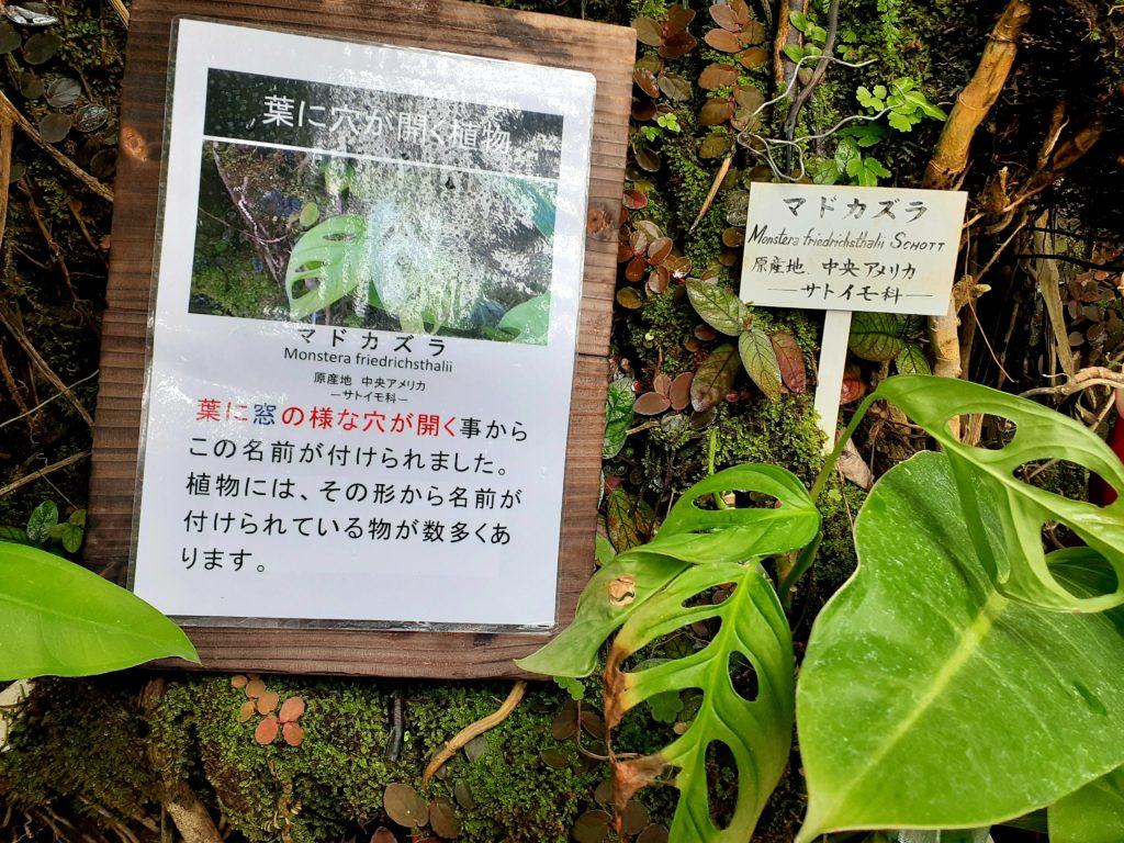 バナナワニ園の珍しい植物マドガラス