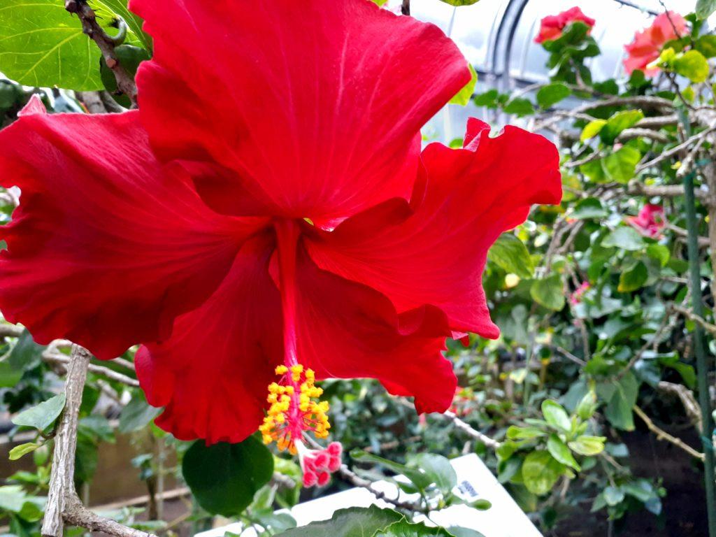 バナナワニ園の植物園ハイビスカス