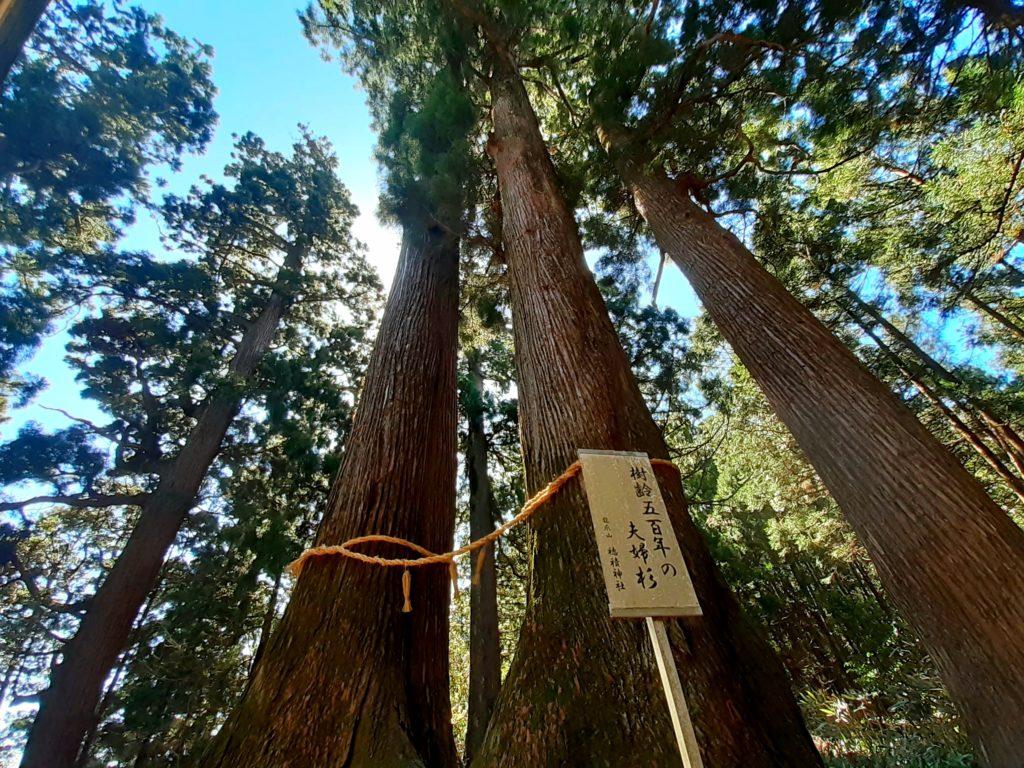 静岡市の竜爪山の登山、杉