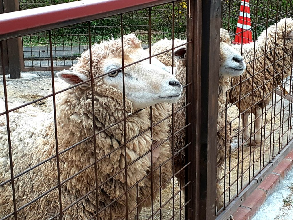 酪農王国オラッチェのファームの羊