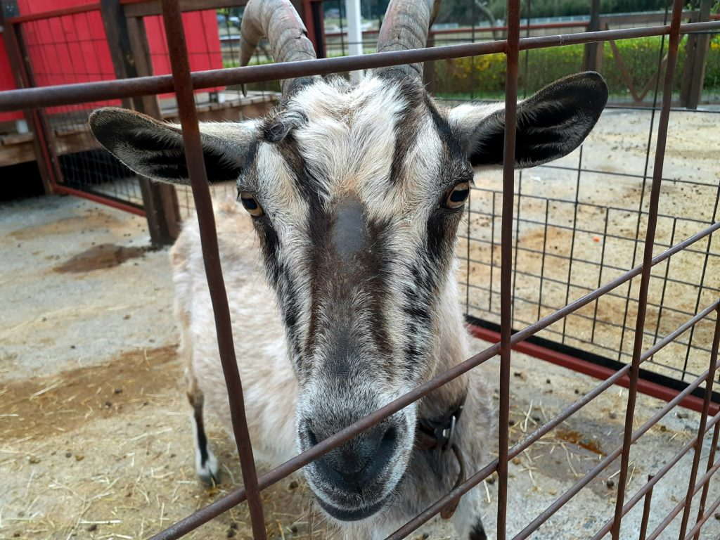 酪農王国オラッチェのファームフレンズパークのヤギ