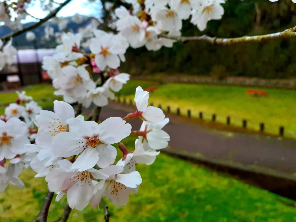 丹那断層公園の桜
