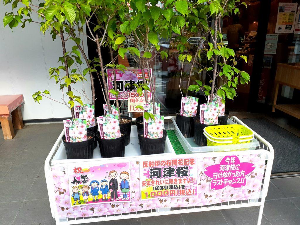 韮山反射炉の物産館 河津桜