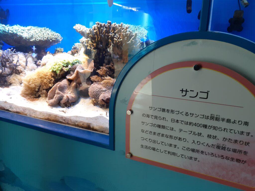 東海大学海洋科学博物館 サンゴ