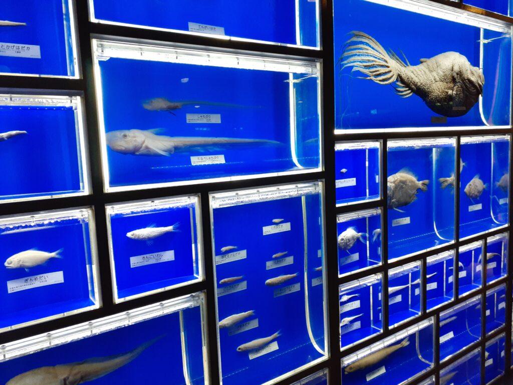 東海大学海洋科学博物館 駿河湾の魚