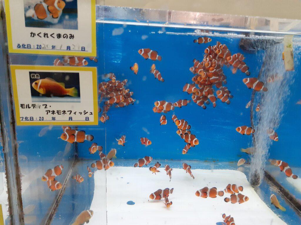 東海大学海洋科学博物館 クマノミの子供