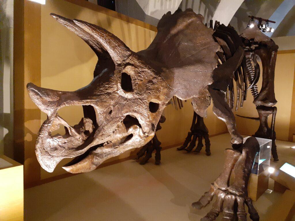 東海大学自然史博物館の恐竜!トリケラトプス