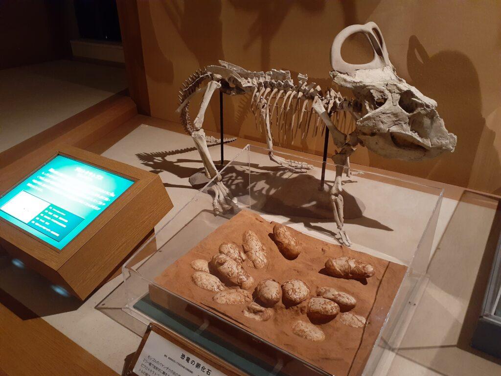 東海大学自然史博物館の恐竜!プロトケラトプス