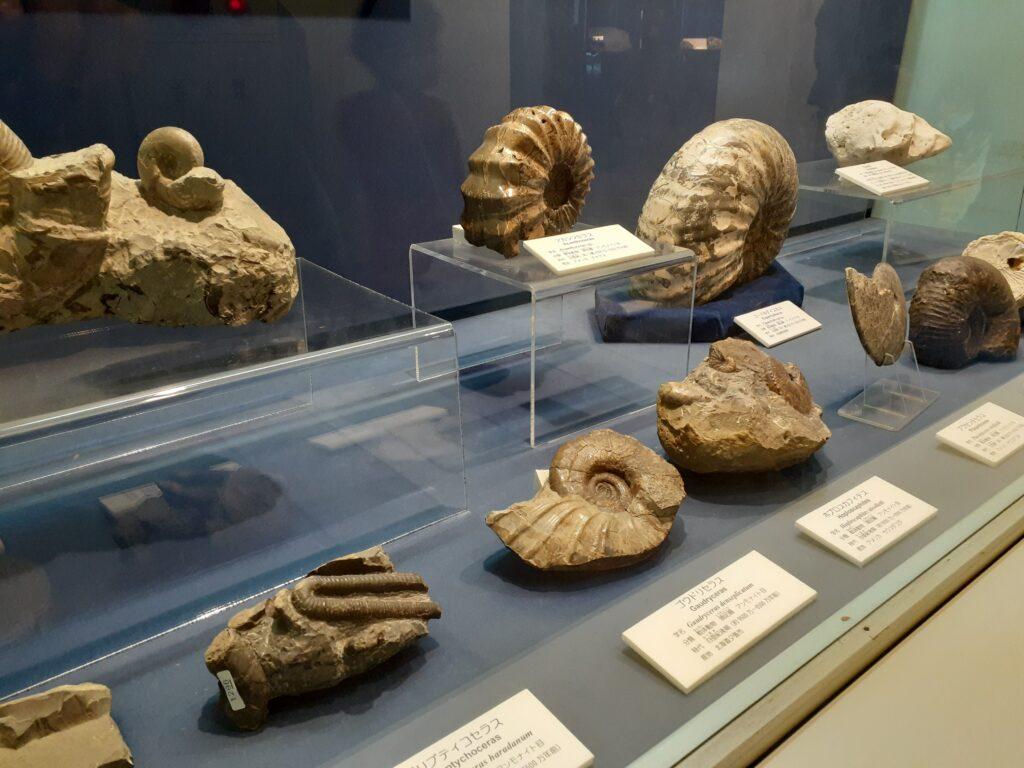 東海大学自然史博物館のアンモナイトの化石