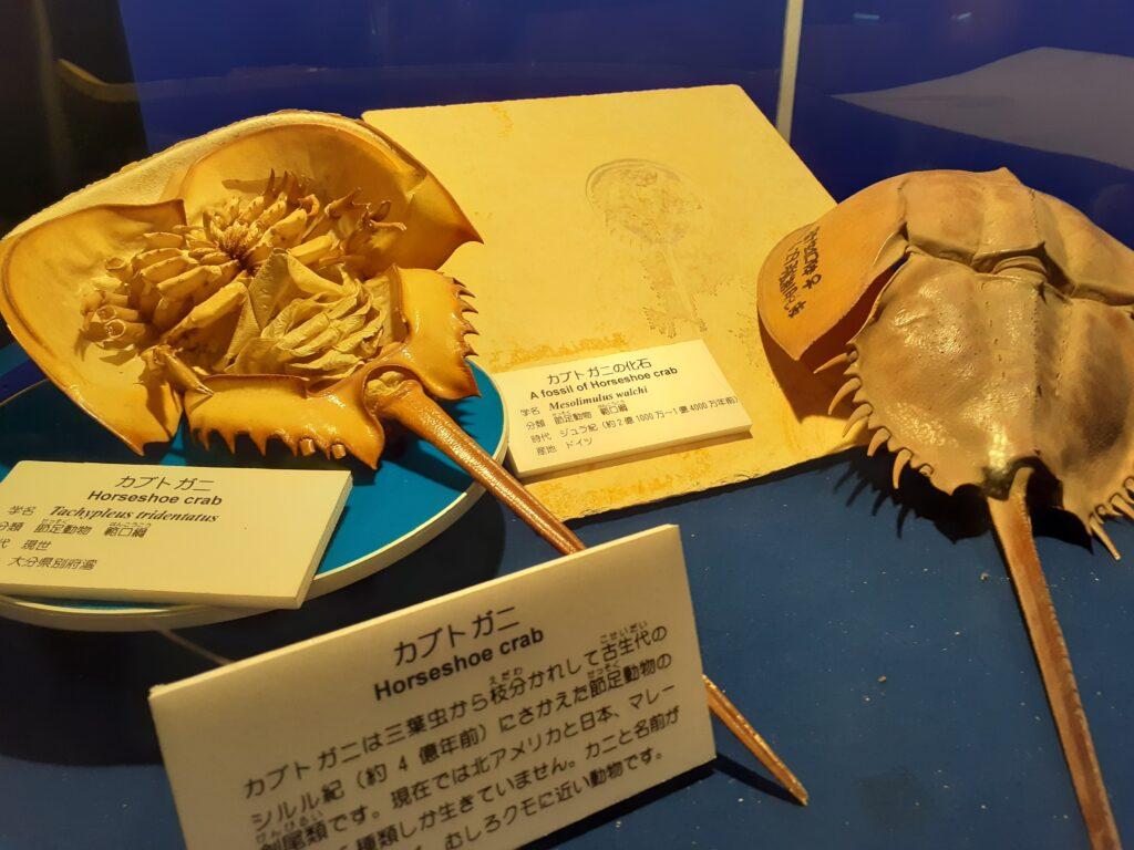 東海大学自然史博物館のカブトガニ