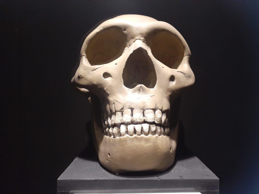 東海大学自然史博物館の頭蓋骨の展示