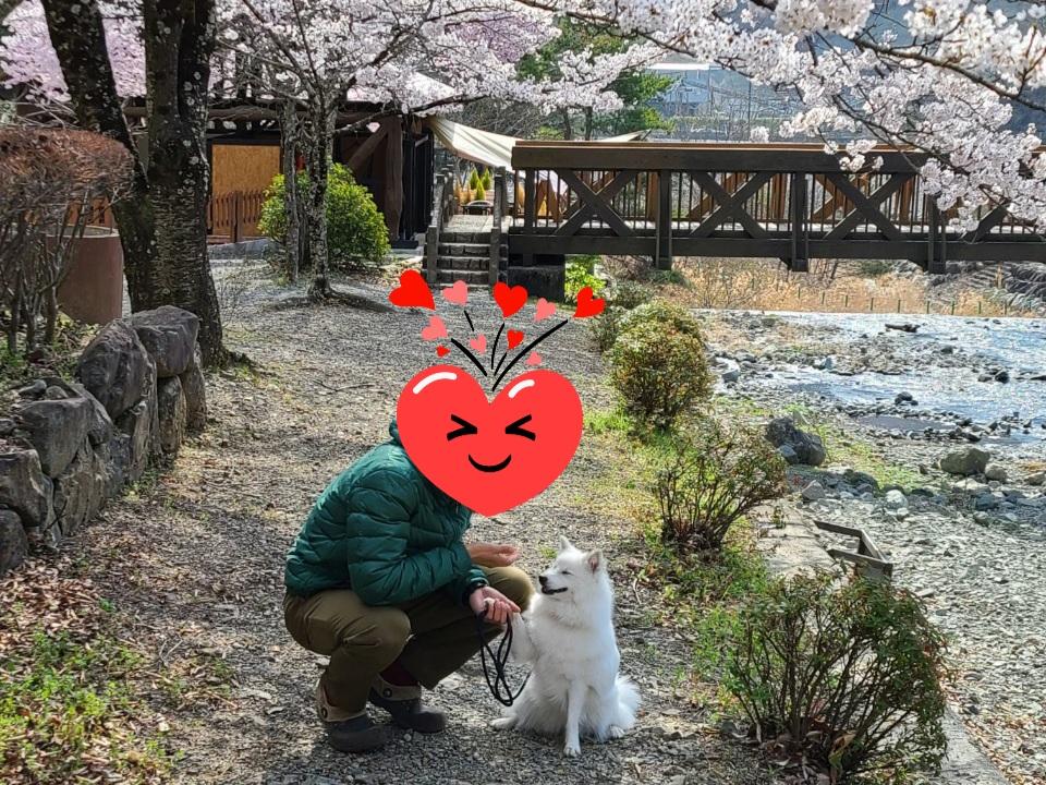 ウエストリバーオートキャンプ場の桜と犬と戯れる